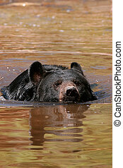 American black bear swimming in the water - American black...