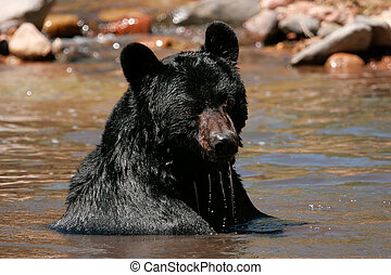 American black bear sitting in a river - American black bear...