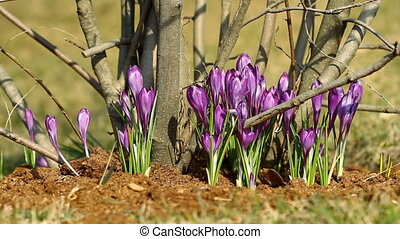 Beautiful violet crocuses in springtime