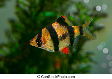 barbus Sumatra - Aquarium fish - barbus Sumatra Barbus...