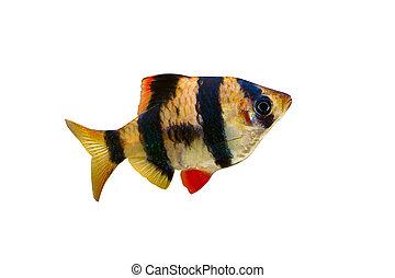 Barbus Sumatra - Aquarium fish - barbus puntius tetrazona...