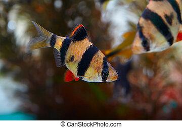 barbus Sumatra - Aquarium fish - barbus Sumatra (Barbus...