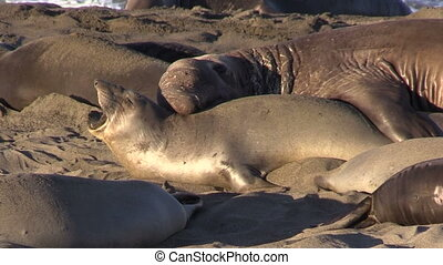 Elephant Seals on the Beach - elephant seals on the beach...