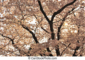 Sunset view of cherry blossoms during spring - Sunset view...