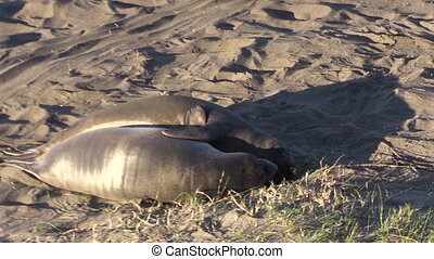 Elephant Seals on the Beach - elephant seals on the beach...