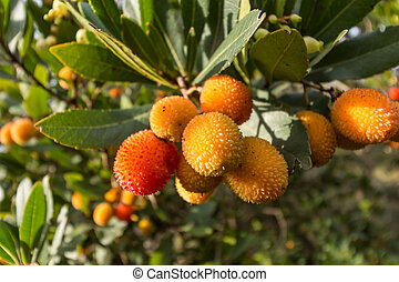 Strawberry tree,cane apple Arbutus unedo - Strawberry tree o...