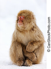 Snow Monkey Japanese Macaque on snow at winter in Nagano,...