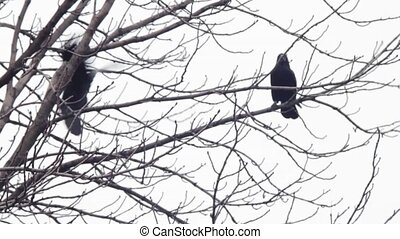 Crow on a tree - Crow, who is sitting on a tree branch on a...