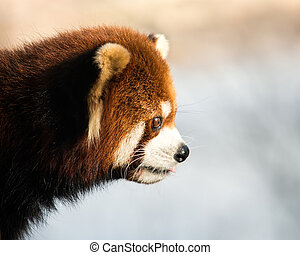 Red Panda XII - Profile Portrait of a Red Panda