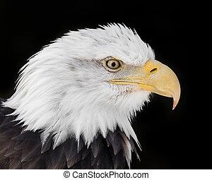 Bald Eagle XVI - Profile Portrait of Bald Eagle Against...