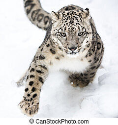 Snow Leopard on the Prowl VI - Snow Leopard Running in Snow