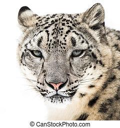 Snow Leopard XVI - Frontal Portrait of Snow Leopard in Snow