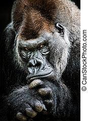 Western Lowland Gorilla II - Frontal Portrait of Western...