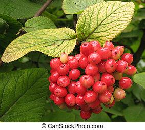 frutas, gordoviny, Viburnum, (Viburnum, lantana), familia,...