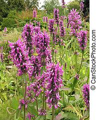 Violet inflorescences loosestrife Lythrum salicaria