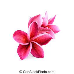 frangipani flowers isolated on the background white