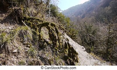 Moss on Trees in Mountain Gorge 2 - Moss on Trees in...
