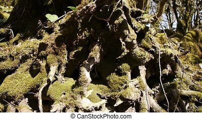 Moss on Trees in Mountain Gorge 5 - Moss on Trees in...