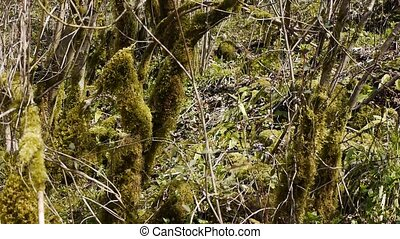 Moss on Trees in Mountain Gorge 1 - Moss on Trees in...