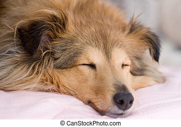 Brown sheltie sleeping