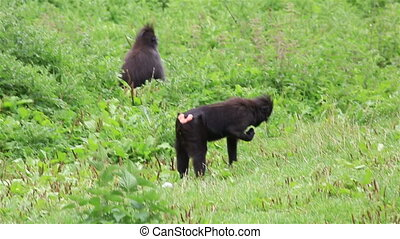 Pair of Sulawesi crested macaque. Republic of Ireland.