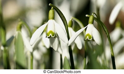 Snowdrops Swaying in the Wind - Young Snowdrops Swaying in...