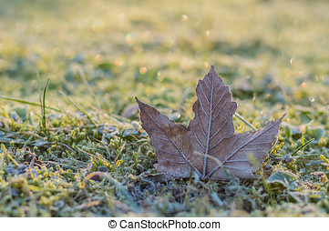 Hoar-frost on a fallen maple leaf