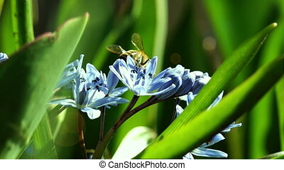 Bees Pollinate Spring Young Flowers - Several Bees Pollinate...