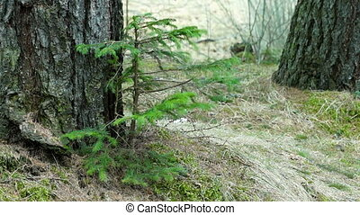Fir Tree Swaying in a Strong Wind - Young Fir Tree Swaying...