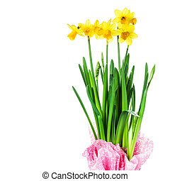 Yellow Flowers on white background close up Daffodil flower...