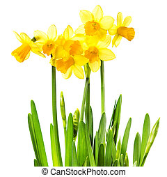 Yellow Flowers isolated on white background Daffodil flower...