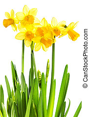Spring Yellow Flowers isolated on white background. Daffodil flo