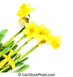 Yellow Flowers on white background close up. Daffodil flower...