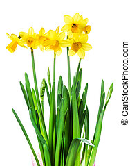 Yellow Flowers on white background close up.Spring flowers...