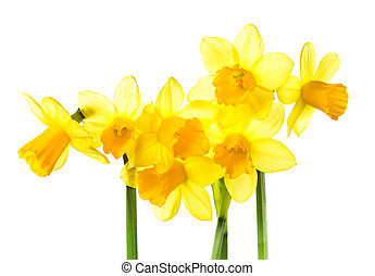 Yellow Flowers isolated on white background. Daffodil flower...