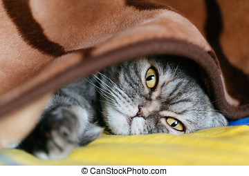 Sleepy cat under the blanket. - The cat is lying under a...