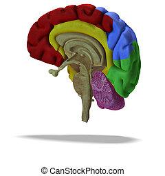 profile / section of a human brain - cut through a human...