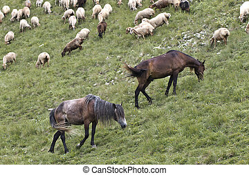 sheeps and horses in the Caucas mountines at Azerbijan