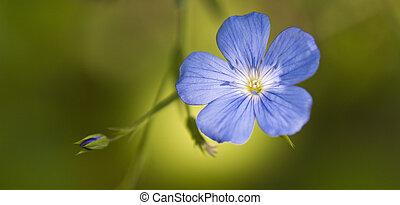 Flax,  Linum usitatissimum