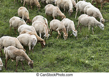 sheeps in the Caucas mountines at Azerbijan