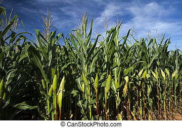 Milho cornfield lavoura - cornfield lavoura de milho