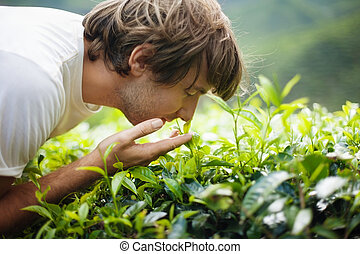 Young Man Smelling Tea Leaves - Young Man on Tea Plantation...