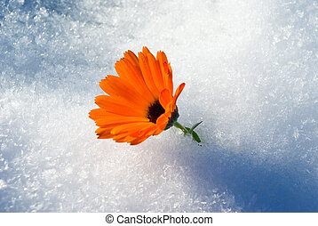 Alive bright Flower under first snow, winter snowfall