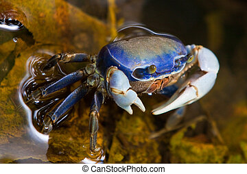 水, 步行, 淺, 螃蟹