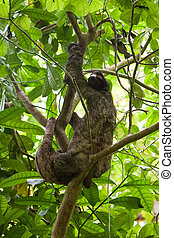 Three-toed sloth with youngster in a tree - Three-toed sloth...