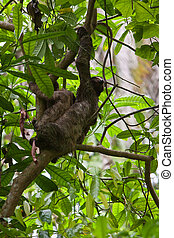 Three-toed sloth with youngster in a tree