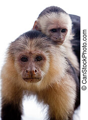 Capuchin monkey with youngster on her back - Closeup of a...