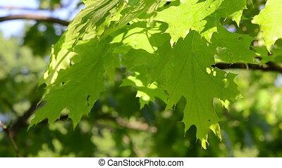 oak tree leaves wet - Bright wet decorative oak tree branch...