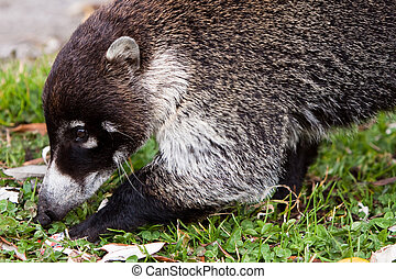 White-nosed goati animal searching for food in the grass