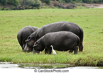 Hippo grazing on a patch of green grass, Okavango delta,...